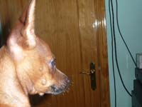 4 Monate alter Pinscher