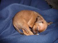 schlafender-pinscherwelpe-1