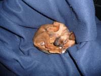 schlafender-pinscherwelpe-10