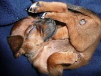schlafender-pinscherwelpe-11