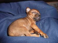 schlafender-pinscherwelpe-2