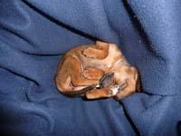 schlafender-pinscherwelpe-4