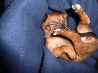 schlafender-pinscherwelpe-6