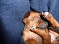 schlafender-pinscherwelpe-7