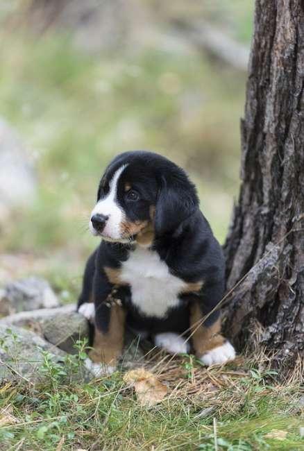 Appenzeller Sennenhund Hunde Wesen Temperament Erziehung Pflege