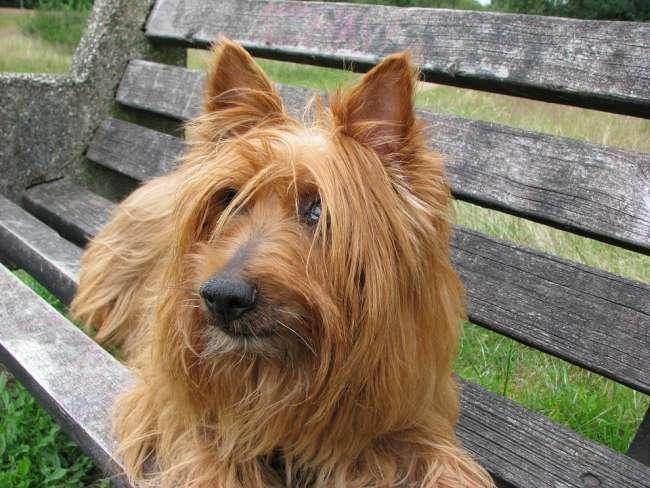 Brauner Australian Terrier