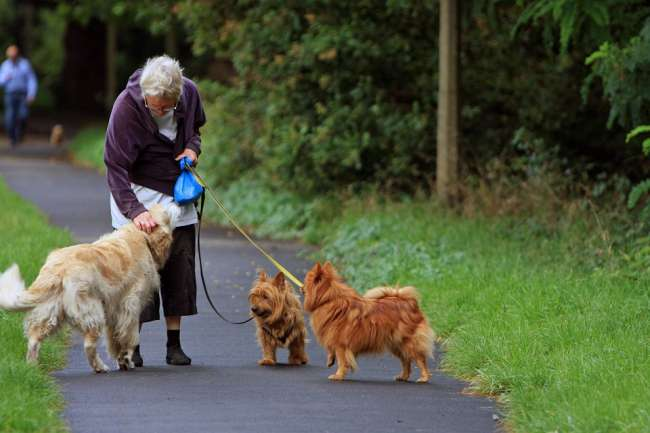 Australian Terrier und Golden Retriever