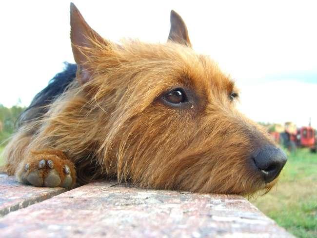 Australien-Terrier ruhend