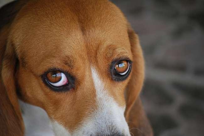 Beagle Blick