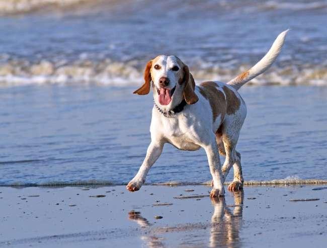 Beagle an der Nordseeküste Deutschlands