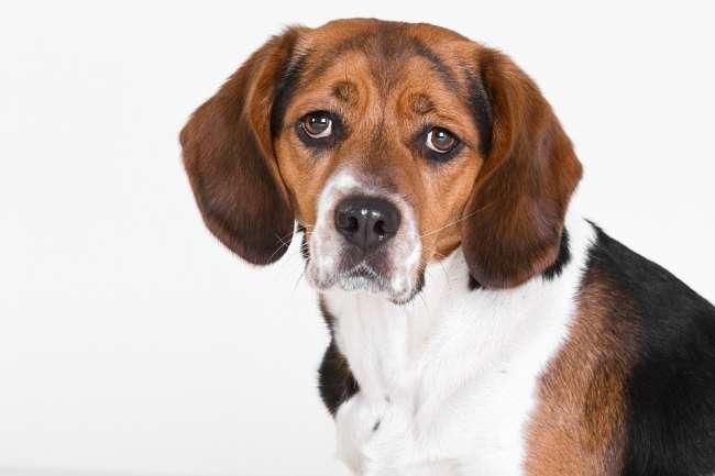Niedlicher Beagle in Portraitansicht
