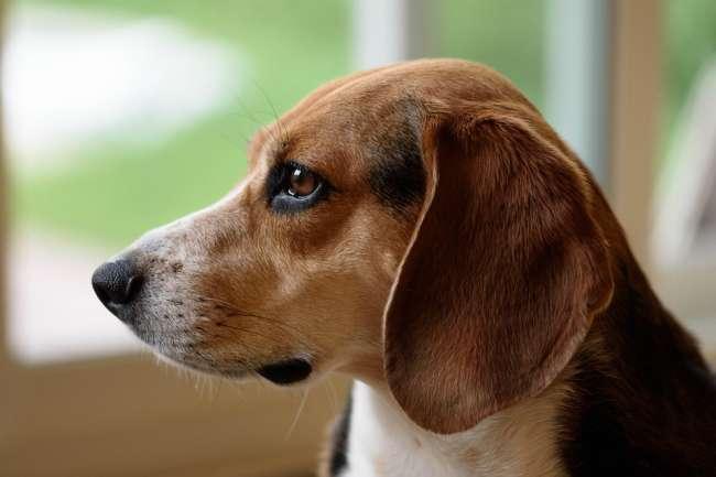 Beagle Profilansicht