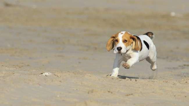 Beagle Welpe am Strand