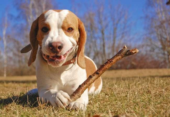 Beagle mit Stöckchen