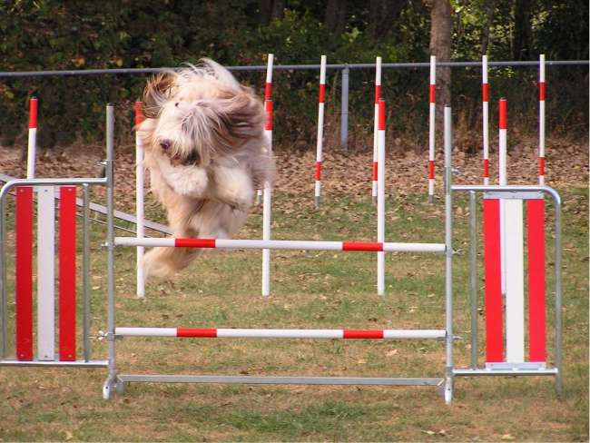 Bearded Collie Agility
