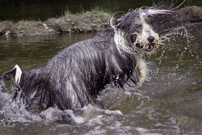 Bearded Collie im Wasser