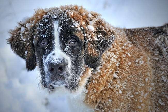 Bernhardiner-Hund im Schnee