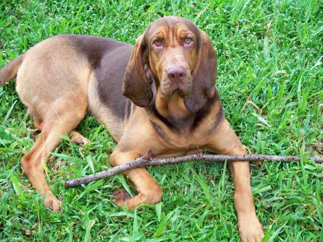 Bloodhound / Bluthund