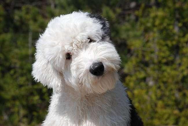 Bobtail, Old English Sheepdog