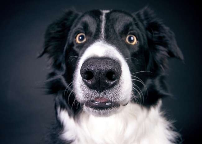 Border Collie Portraitansicht