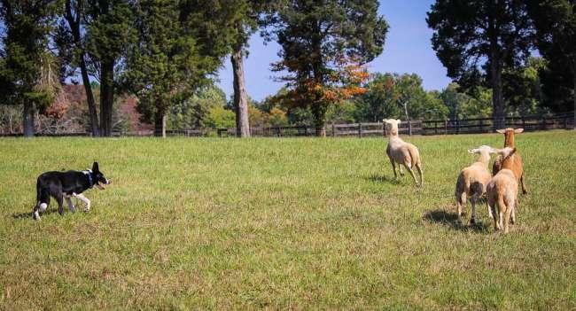 Border Collie beim Treiben von Schafen