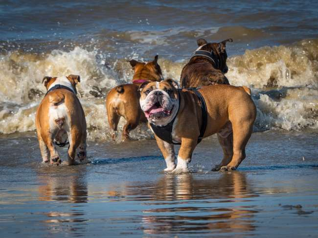 Urlaub am Meer: Spielende Bulldoggen am Strand