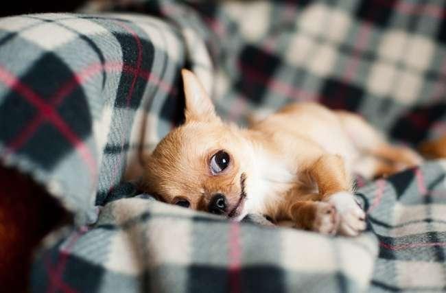 Chihuahua bei einem Nickerchen