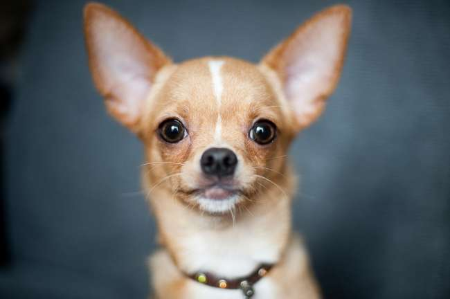 Chihuahua Portrait Ansicht