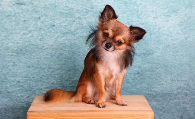 Posierender langhaariger Chihuahua