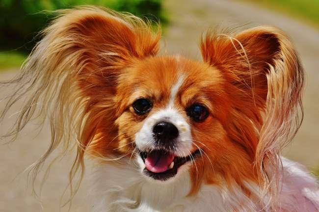Chihuahua mit lang gewelltem Haar