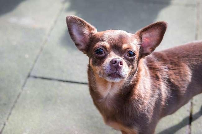 Rotbrauner kurzhaariger Chihuahua