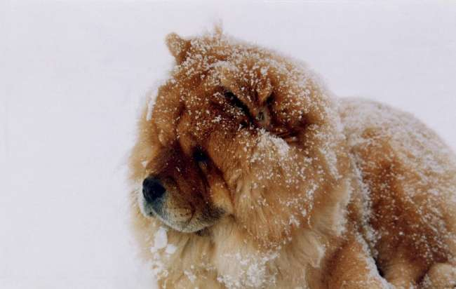Chow-Chow im Schnee