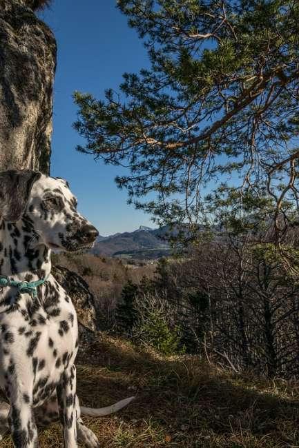 Dalmatiner in den Bergen Österreichs