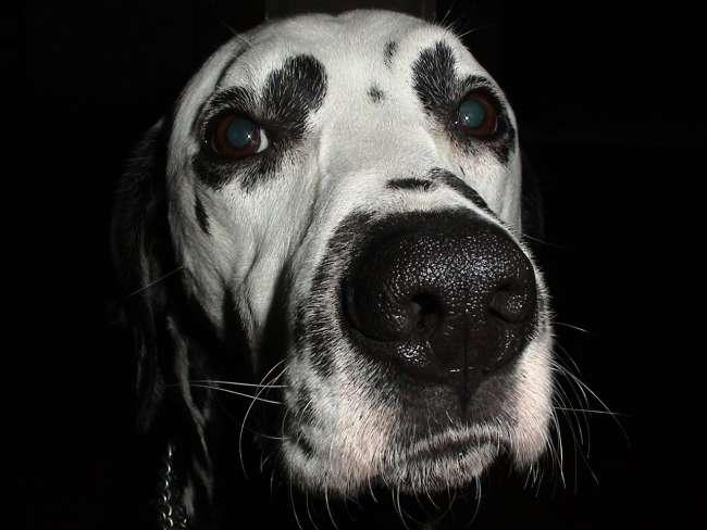 Dalmatiner Portrait Ansicht