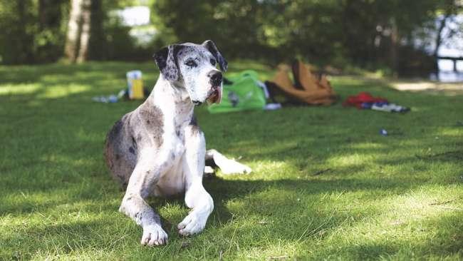 Deutsche Dogge im Gras