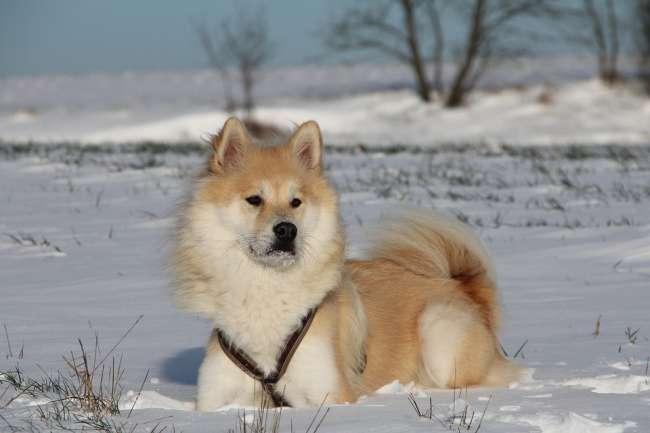 Eurasier im Schnee