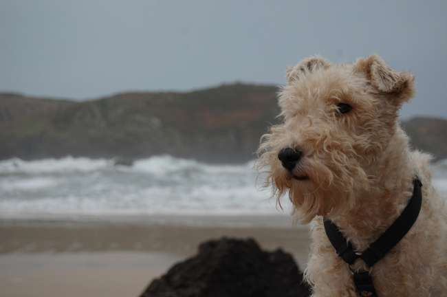 Foxterrier am Strand