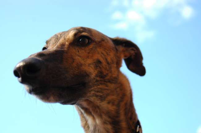 Kopf Greyhound
