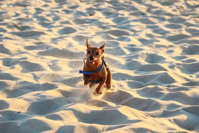 Hund am Strand in Frankreich