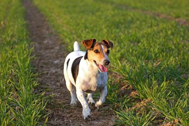 Jack-Russell-Terrier in Wiese