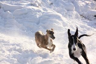 Greyhound Windhund