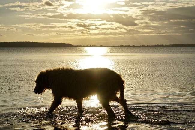 Irish Wolfshound am Strand