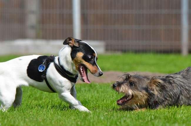 Jack-Russell-Terrier und Mischling