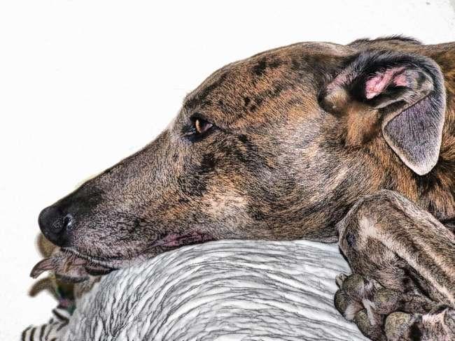 Gesicht-Greyhound