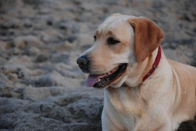 Labrador am Sandstrand