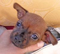 Zwergpinscher Welpe, 5 Wochen alt