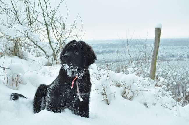 Neufundländer-Welpe im Schnee