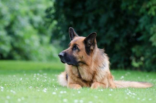 Deutscher Schäferhund in der Wiese