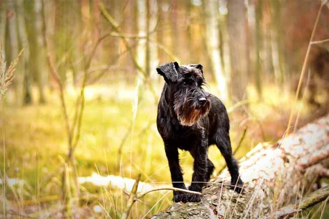 Schwarzer Zwergschnauzer im Wald