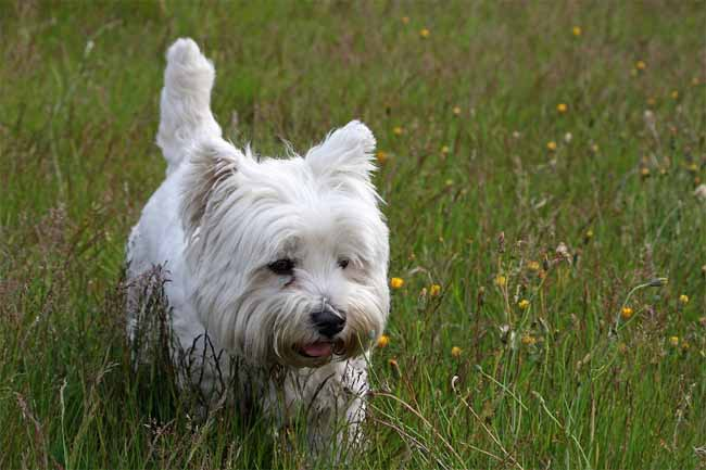 Westie in der Wiese, West-Highland-White-Terrier
